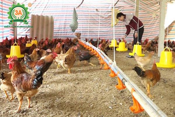 Kỹ thuật chăn nuôi gà mía (09)