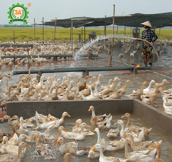 Kỹ thuật nuôi vịt đẻ siêu trứng (08)