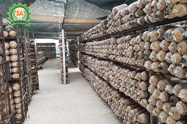 Cách trồng nấm sò (04)