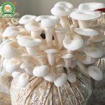 Cách trồng nấm sò – Trọn bộ kỹ thuật trồng nấm bội thu