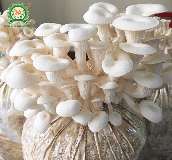Cách trồng nấm sò (05)
