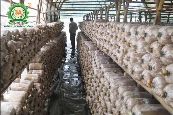 Cách trồng nấm hương (06)