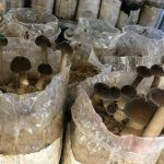 Quy trình trồng nấm mối đen từ A-Z đạt năng suất cao